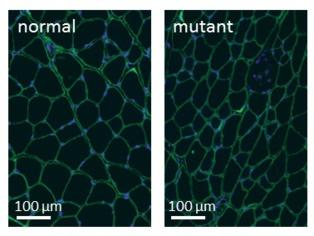 Sección transversar de músculo de ratón. Los ratones mutados tienen fibras musculares (en verde) más grandes. Imagen: François Redelsperger. Fuente: CNRS.