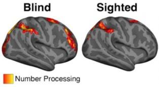 Zonas de procesamiento numérico en personas ciegas (izda.) y videntes (dcha.). Fuente: Universidad Johns Hopkins.