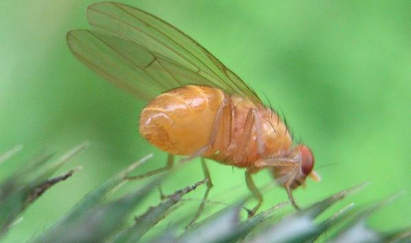 Drosophila menalogaster. Fuente: Wikimedia.