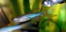 Pez cebra. Foto: http://www.peceswiki.com/pez-cebra