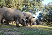 En España se castra a todos los cerdos ibéricos. Imagen: Ana Rey. Fuente: UCM.