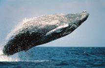 Salto acrobático de la ballena jorobada. Foto: Skeeze