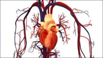 Ilustración del sistema circulatorio humano. Imagen: Bryan Brandenburg. Fuente: UCM.