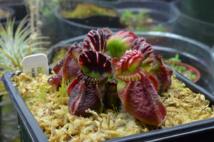 Cephalotus follicularis, la planta carnívora australiana cuyo genoma completo se ha analizado en este estudio.  Foto:Adam B.