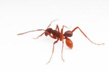 Hormiga llevando el escarabajo sobre sus espaldas. Foto: D. Kronauer