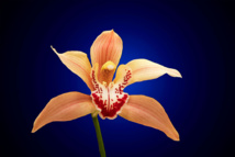 Cymbidium orchid. Own work
