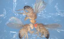 Las tres Drosophilas del experimento, con ojos de diferentes colores. Foto: © Filippo Ciabrelli. CNRS