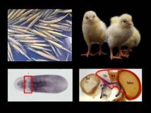 Este modelo animal tiene una posición filogenética clave en la historia del linaje evolutivo de los vertebrados. Beatriz Albuixech-Crespo et alia.