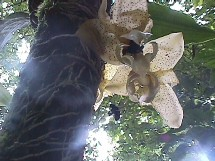 Abejas polinizando una orquídea. Costa Rica