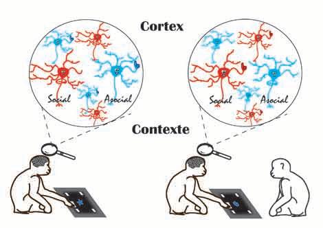 Activación de las diferentes neuronas, sociales y asociales, según la tarea se realiza solo o acompañado. © M.Demolliens. CNRS