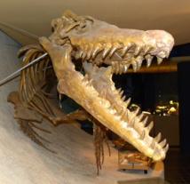 Esqueleto de Mosasaurus. Maastricht Natural History Museum, The Netherlands.