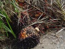 Fruto de la palmara del aceite. Foto:Maksim
