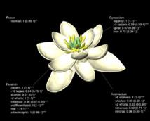 Modelo del ancestro de flor que muestra las partes femeninas (carpelos) y masculinas (estambres), así como múltiples verticilos de pétalos en grupos de tres. / Hervé Sauquet & Jürg Schönenberger