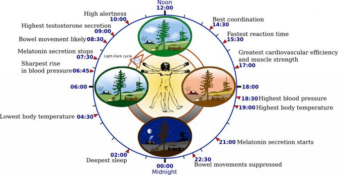 Reloj biológico humano.Autor: YassineMrabet. Wikimedia Commons.