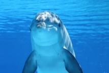 Los delfines tienen una cultura similar a la humana debido al tamaño de su cerebro. Foto: Universidad de Manchester