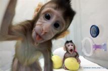 Los dos monos clonados. Foto: Academia de Ciencias de China (ACCh)/Xinhua.