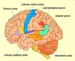 Esquema de las regiones cerebrales.