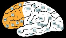 En naranja, corteza prefrontal. Fuente: Wikimedia Commons.