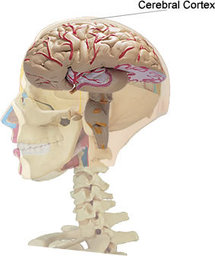 Localización de la corteza cerebral. Fuente: Wikimedia Commons.