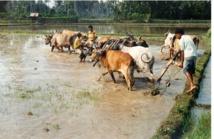 ¿Qué tipo de agricultura se necesita para la seguridad alimentaria sostenible? Cultivo de arroz en Indonesia. Foto: Stefan Schwarze, Universidad de Göttingen.