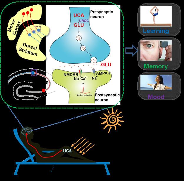 Mecanismo mediante el cual la exposición al Sol mejora el aprendizaje, la memoria y el estado de ánimo. Imnagen: ZHU Hongying. USTC.