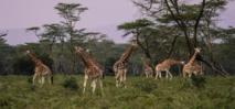 Sólo el 4% de los mamíferos del planeta son salvajes. Foto: Monika.
