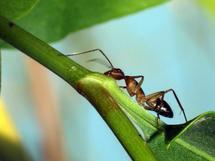 La biomasa de las hormigas compone más de la mitad de todos los insectos. Foto: Gustavo Durán. SINC