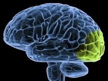 Algunas regiones de la corteza visual del cerebro, en verde en la imagen, pueden ser reorganizadas para pasar a procesar señales sonoras. Fuente: MIT.
