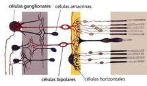 Organización simplificada de la retina. Fuente: Wikimedia Commons.