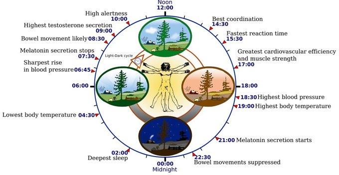 Representación de los ritmos circadianos regulados por el reloj biológico humano. Yassine Mrabet