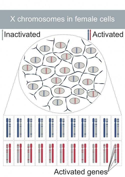 Expresión de los genes sometidos a inactivación del cromosoma X. © UNIGE