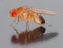 Los experimentos han sido realizados con moscas Drosophila. Fuente: Wikimedia Commons.