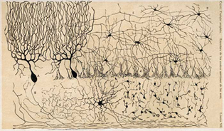 Corte histológico del cerebelo al microscopio, dibujado por Santiago Ramón y Cajal. Fuente: Wikimedia Commons.