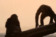 El altruismo humano surge a los 18 meses y es compartido por los chimpancés