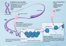 Mecanismo epigenético. Fuente: NIH.