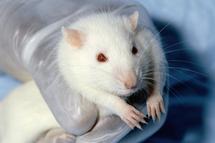 Rata de laboratorio. Fuente: Wikimedia Commons.