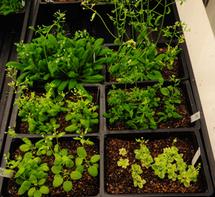 Plantas Arabidopsis mutantes, cultivadas en el laboratorio de Elizabeth Haswell. Fuente: Universidad de Washington.