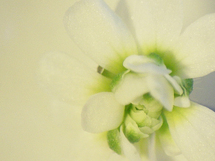 Arabidopsis. Imagen: Ego Sum Daniel. Fuente: Flickr.com.