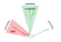 Árbol filogenético que separa a las especies analizadas según la composición de tRNAs de sus genomas en Archaea, Bacteria y Eukarya. imagen: Eva Novoa