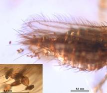 Polen de gimnosperma adherido al abdomen y alas de un insecto tisanóptero. Fuente: UB.
