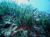 Pradera de Posidonia oceanica. Fuente: Wikimedia Commons.