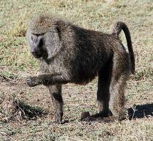 Los babuinos sufren heridas habitualmente durante los conflictos con otros machos. Fuente: Wikimedia Commons.