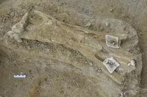 Tibia de mamut de más de 700.000 años hallada en la Boella. Imagen: IPHES