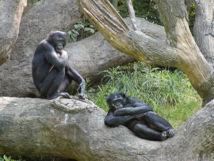 Bonobos en el zoo deCincinnati. Greg Hume.