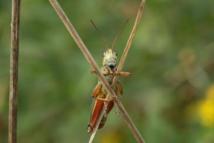 Un saltamontes escondiéndose detrás de unas cañas. Imagen: Dror Hawlena
