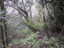 Bosque en el parque de Garajonay, en La Gomera. Fuente: Wikimedia Commons.