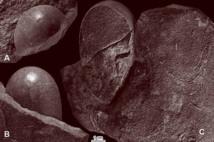 Huevos parcialmente conservados del nuevo ootaxón Sankofa pyrenaica oog. nov. oosp. nov., procedentes de la parte oeste del emplazamiento Serrat Pedregòs, Formación Aren, pliegue anticlinal de Montsec. A–B, parte superior (tal y como estaba orientada en el banco de arenisca), preparada para mostrar la lisa superficie del caparazón (López-Martínez 2000). C, sección natural del huevo y algunos otros huevos pertenecientes probablemente a la misma nidada. Fuente: UCM.