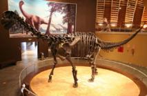 Esqueleto de un saurópodo en el Museo del Jurásico de Asturias (MUJA). Fuente: Wikimedia Commons.