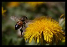 Una abeja sobre un diente de león. Imagen: wynmills. Fuente: PhotoXpress.