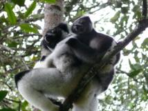 Monos Indri. Fuente: Wikimedia Commons.